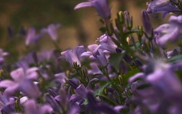 cvety, makro, fioletovye, леспестки