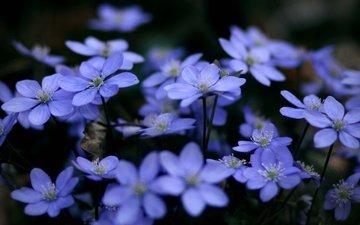 цветы, растения, макро, голубые, синие, cvety, makro, rasteniya, sinie, golubye