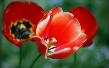 маки, cvety, listya, tyulpany, krasnyj