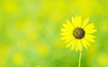 cvety, cvetok, zheltyj, romashka, zelenyj fon