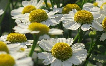 cvety, romashki, belye, leto, sadovye, melkie