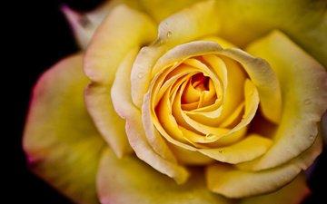 цветок, капли, роза, лепестки, cvety, roza, priroda