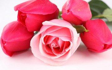 цветы, розы, тюльпаны, cvety, tyulpany, rozy