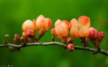 cvety, makro, priroda, vetka