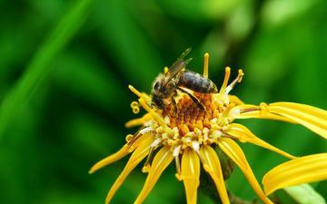 макро, насекомое, цветок, лето, пчела