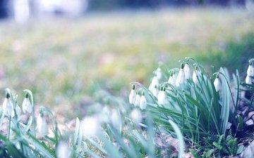 cvety, vesna, trava, makro, foto, podsnezhniki, pervocve