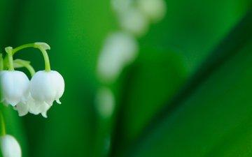 vesna, cvetok, makro, listya, belyj, zelenye, landysh