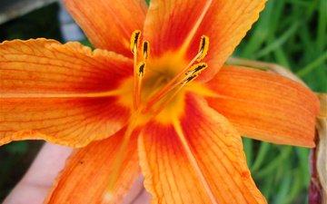 макро, лилия, оранжевая, яркая