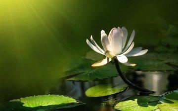 вода, листья, лилия, пруд, белая, кувшинка, fon, listya, buton, zelenyj, lotos, нимфея, водяная лилия