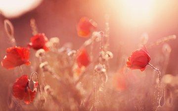 маки, cvety, butony, solnechnyj svet