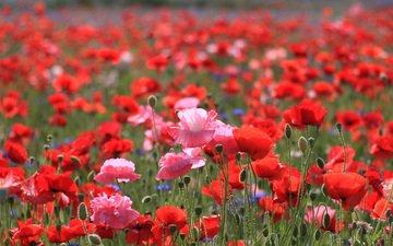 природа, поле, лето, маки, васильки, cvety, rozovye, krasnye, polevye, yarkie, alye, lep