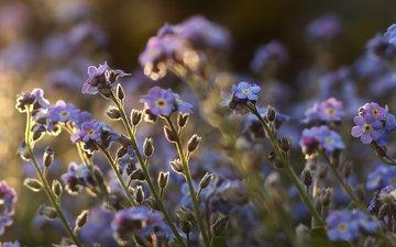 полюс, cvety, rasteniya, stebli, fioletovye, nezabudki, м