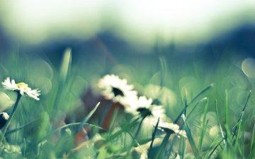 cvety, romashki, belye, priroda, леспестки