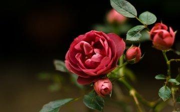 цветы, бутоны, листья, розы, лепестки, listya, butony, roza