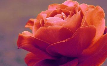 nezhnost, makro, roza, флора