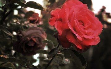 makro, roza, krasnaya