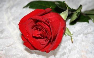 роза, roza, takaya nezhnaya, i kolyuchaya kak ingrid