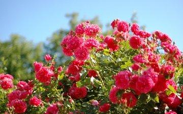 лето, розы, красота, розовые, куст, krasota, leto, rozovye, rozy, alye, kust, алые