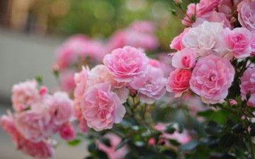 цветы, листья, роза, лепестки, сад, бутон, куст, cvety, makro, rozovye, rozy, kusty, розмытость, леспестки