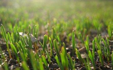 vesna, trava, makro, zelen