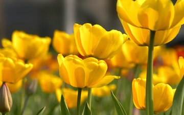цветы, тюльпаны, желтые, cvety, tyulpany, butony, zhyoltye, леспестки