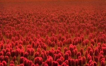 cvety, vesna, leto, cvetok, tyulpany, cvetki, vesennie