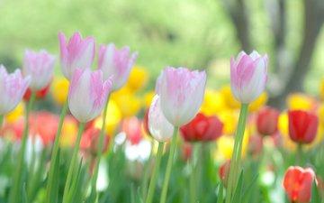 cvety, makro, tyulpany, priroda, fokus, makro cvety