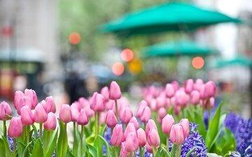 цветы, весна, тюльпаны, розовые, синие, боке, гиацинт, cvety, tyulpany, buton, rozovye, gorod, giacint, klumba
