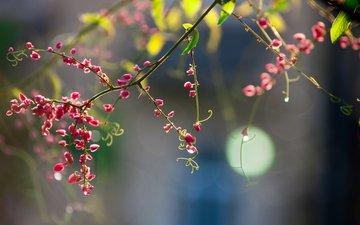 cvety, rozovye, vetochka, boke, usiki