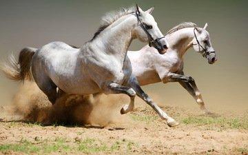 пара, лошади, кони, пыль, грива, бег, копыта