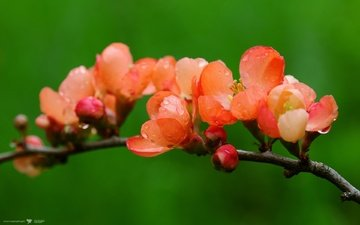 cvety, kapli, priroda, ajva