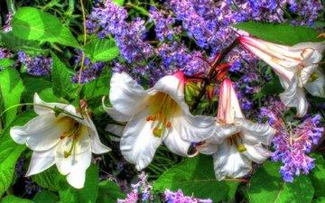 сирена, belye, lilii