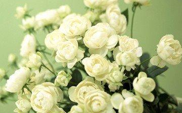цветы, бутоны, лепестки, oboi, nezhnos, belyj, cvetochki, fo, zelenyj, butonchiki, ранункулюс, лютик