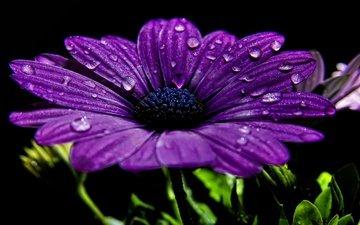 роса, fon, fioletovyj, cvetok, makro, kapli, fioletovye, chyornyj, леспестки