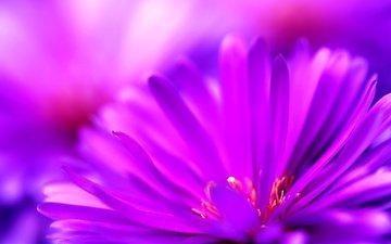 fioletovyj, cvetok, makro, леспестки