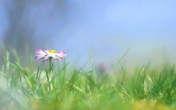trava, cvetok, margaritki, margaritka