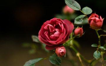 цветы, макро, розы, красные, шиповник, cvetok, makro, roza, krasnyj, shipovnik, dikij