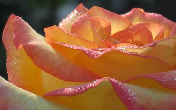 роса, cvetok, roza, utro