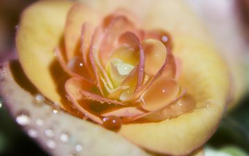 роса, cvetok, nezhnost, makro, kapli, roza, zheltyj