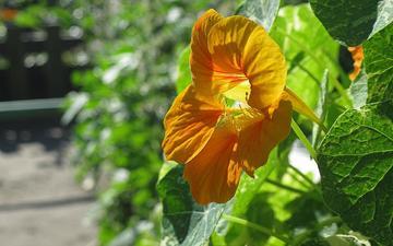 cvetok, yarkij, solnechnyj, nasturciya, sadovaya