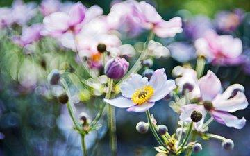 свет, цветы, макро, блики, размытость, cvety, makro, bliki, svet, fokus, anemony, анемоны, розмытость, фокус