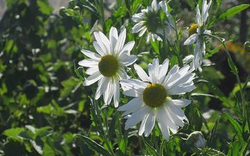 cvety, romashki, belye, sadovye, krupnye