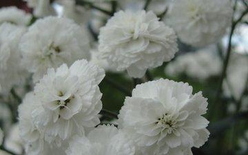 cvety, belye, maxrovye