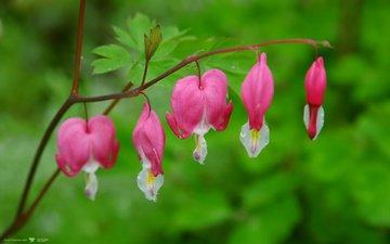 cvety, serdce, dicentra, razbitoe