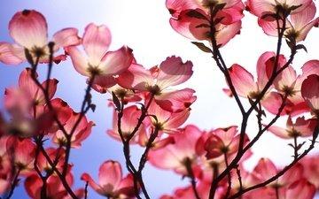 fon, cvety, rozovyj, makro