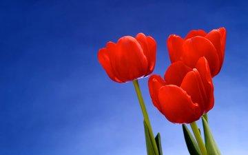 fon, cvety, oboi, makro, tyulpany, foto, krasivye oboi