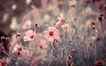 cvety, makro, rozovye