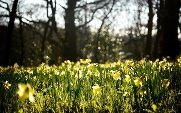 природа, лес, блики, весна, нарциссы, cvety, vesna, polyana, zheltye, butony, narcissy, prirod, пирода