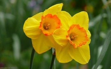 cvety, zheltye, narcysy