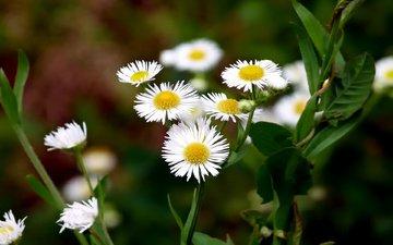 cvety, belye, polevye